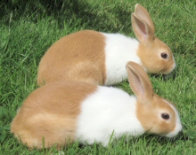 Dutch Rabbits in Hertfordshire