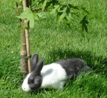 Hertfordshire Dutch Rabbits