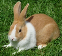 care for your dutch rabbits
